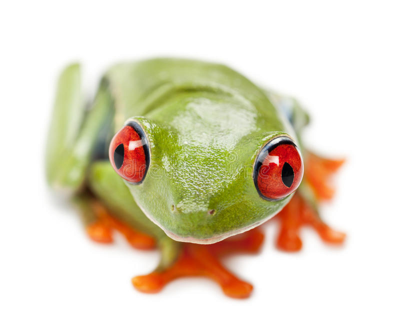 Treefrog Red-eyed, callidryas de Agalychnis fotos de archivo