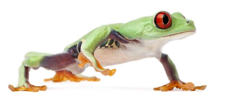 Treefrog Red-eyed, callidryas di Agalychnis fotografie stock