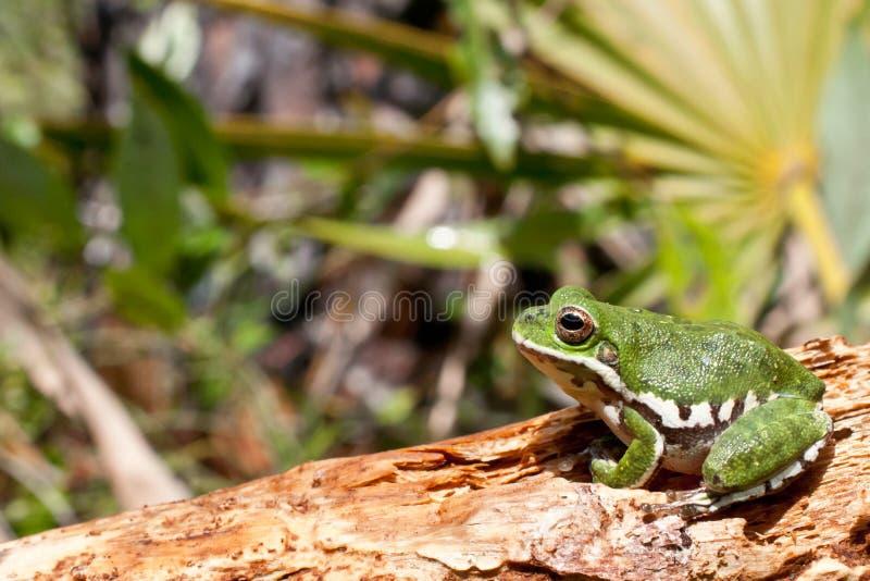 Treefrog verde imagenes de archivo