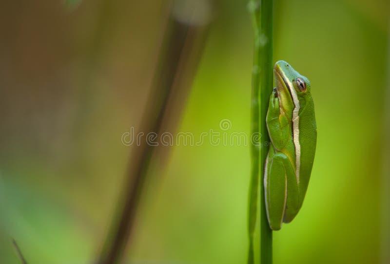 Treefrog verde fotografía de archivo libre de regalías