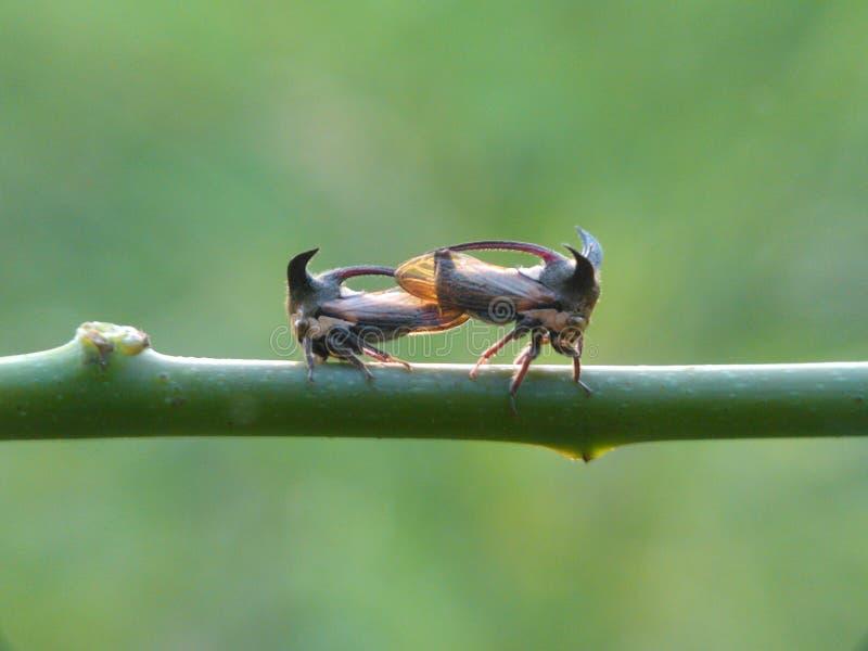 Treehopper foto de archivo