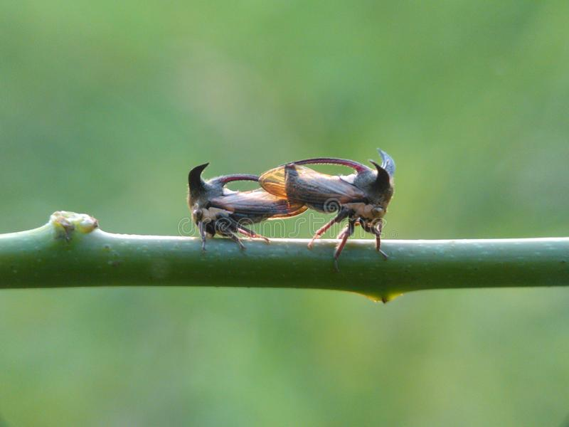 Treehopper stockfoto