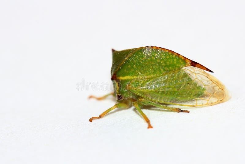 Treehopper sopra bianco fotografie stock libere da diritti