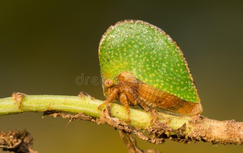 Treehopper verde minúsculo foto de archivo libre de regalías