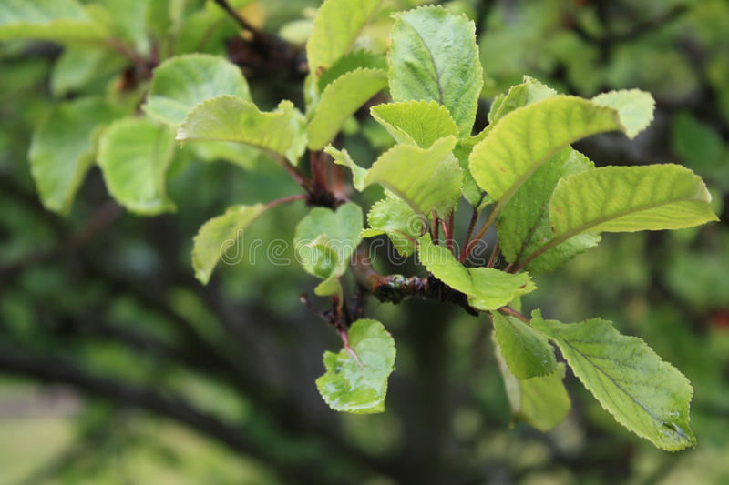 Treeleafs. Green leafs on the tree stock photography