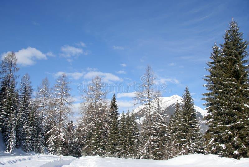 Treeline alpino della montagna fotografia stock