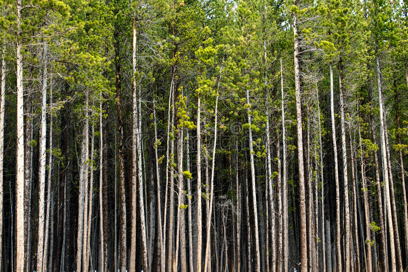Treeline em Aspen Colorado fotos de stock