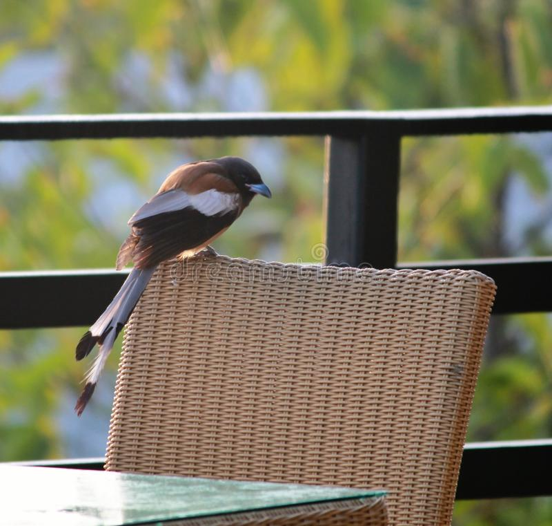 Treepie Rufous. One of rare sightings at a resort royalty free stock photo