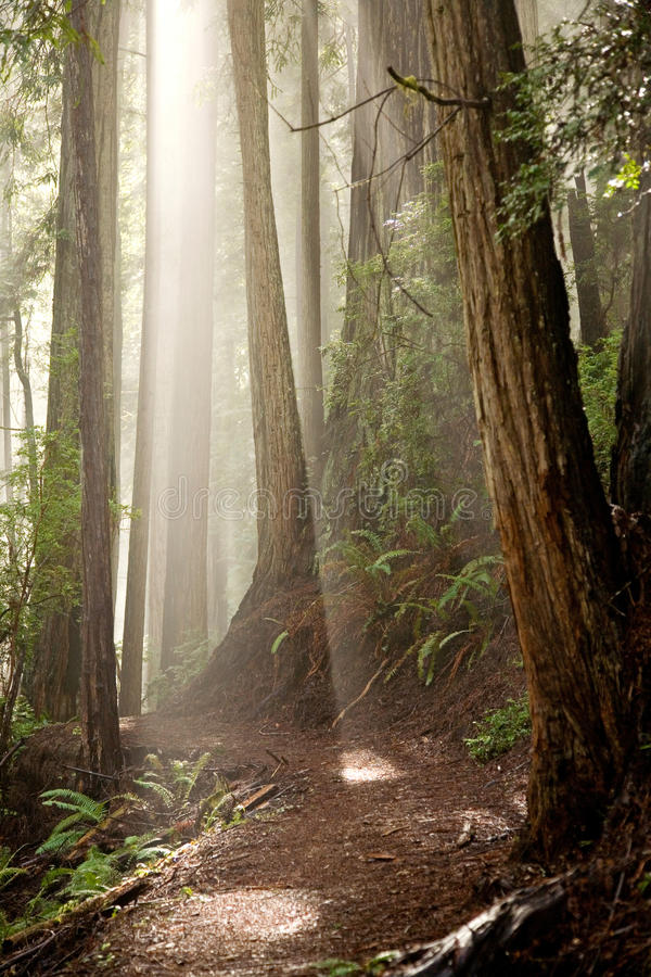 Download Through the Trees stock image. Image of tree, rays, forest - 19051715