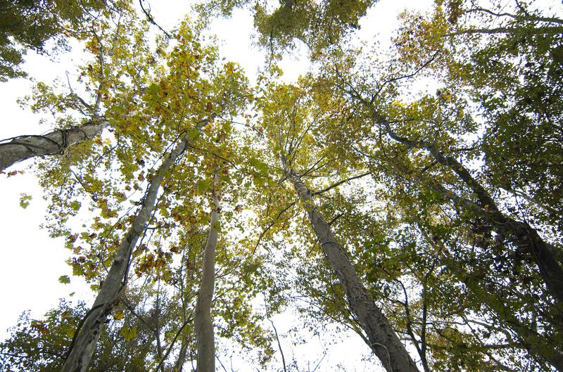Trees against sky at the Comite River Park. View of native trees against the sky at the Comite River Park, a popular mountain bike trails site, Baton Rouge stock image
