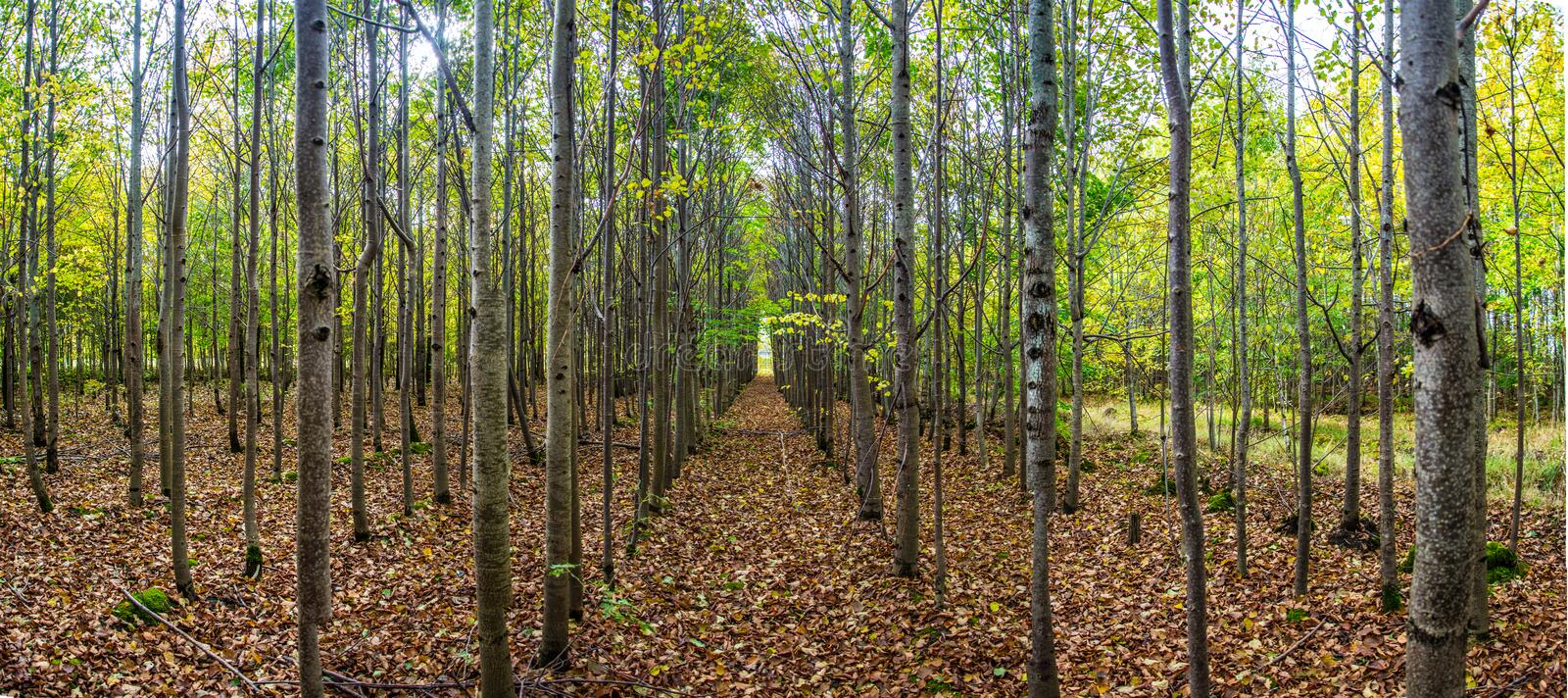 Trees alley in autumn forest stock images