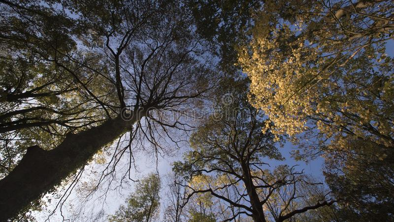 Trees as a ceiling in the evening light. Trees seen from the ground as a ceiling in the evening light stock image