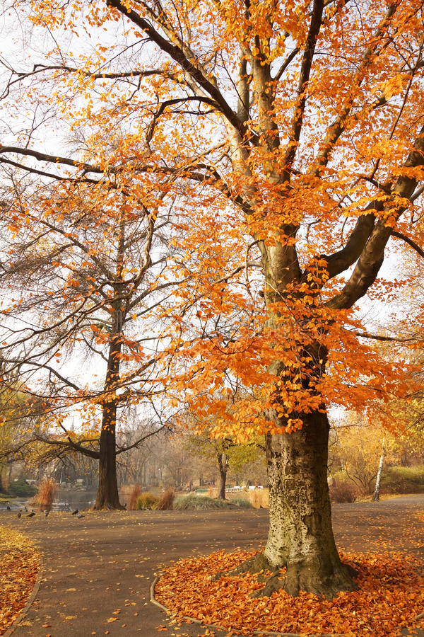 Trees in the autumn royalty free stock photography