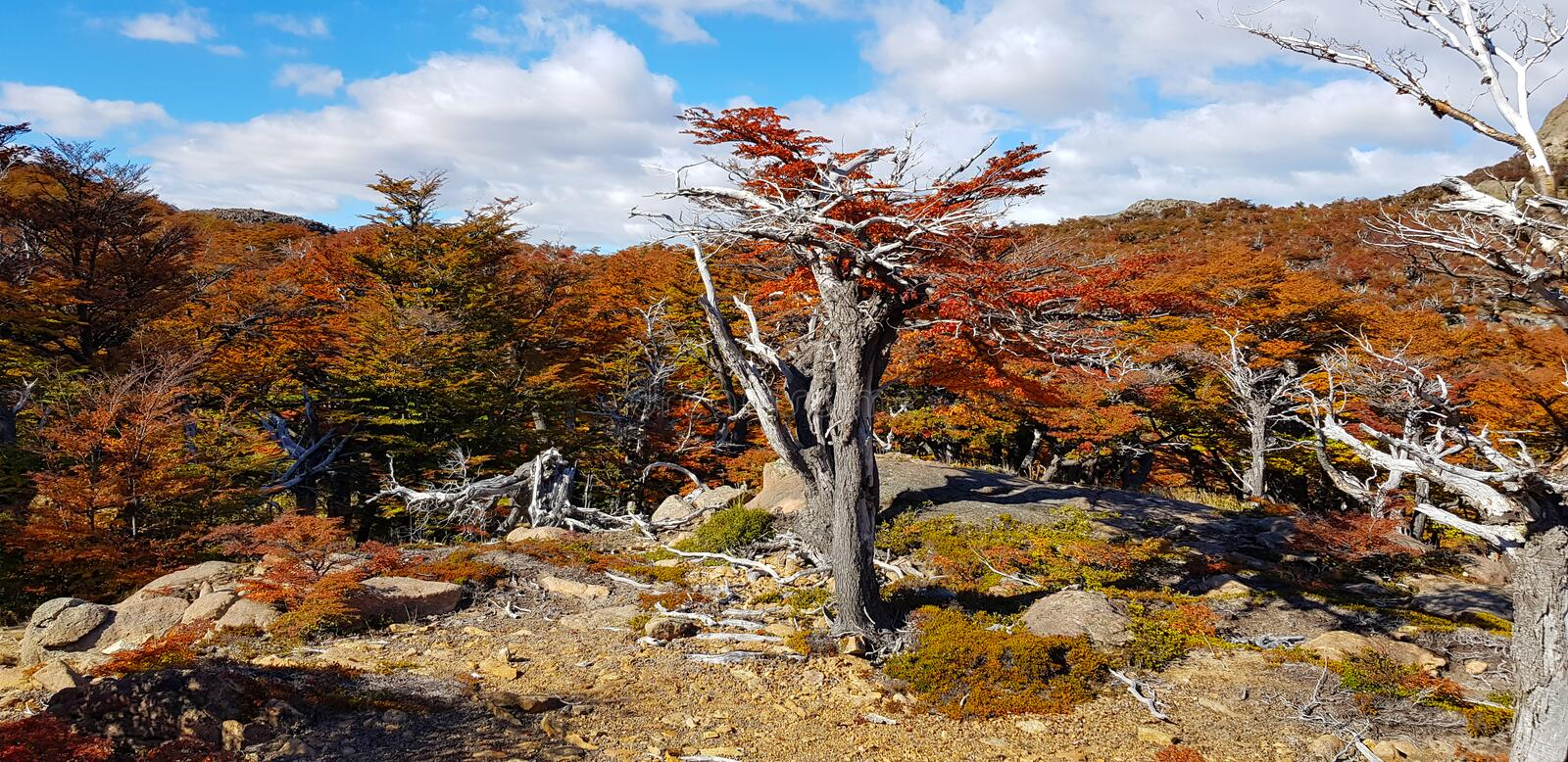 Trees with autumn colors and Mount Fitz Roy, Patagonia, Argentina royalty free stock photo