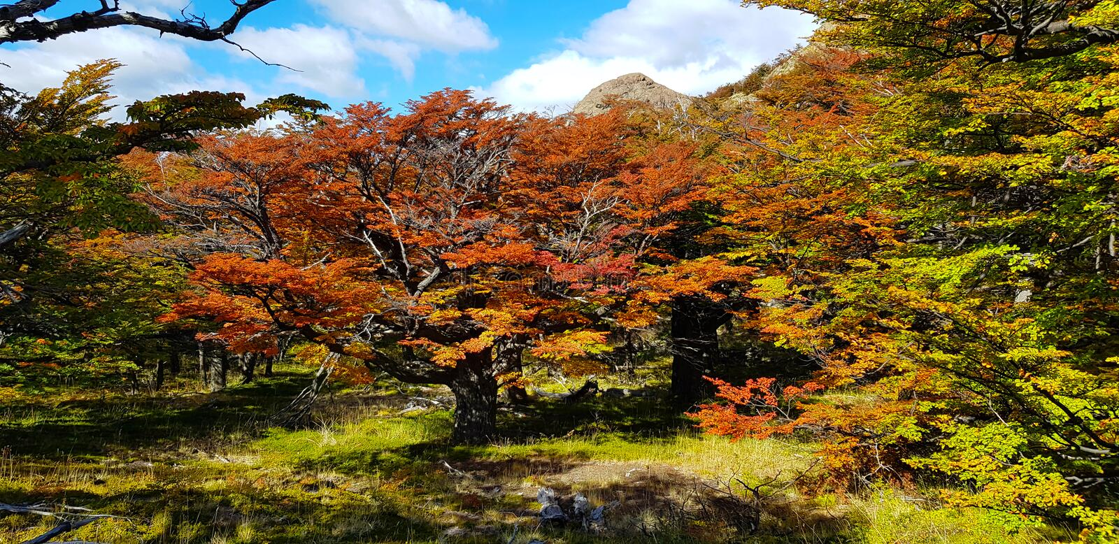 Trees with autumn colors and Mount Fitz Roy, Patagonia, Argentina royalty free stock photography