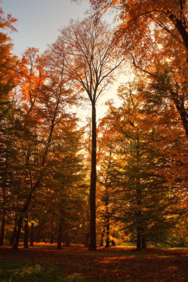 Trees in autumn - golden and red colored trees stock photography