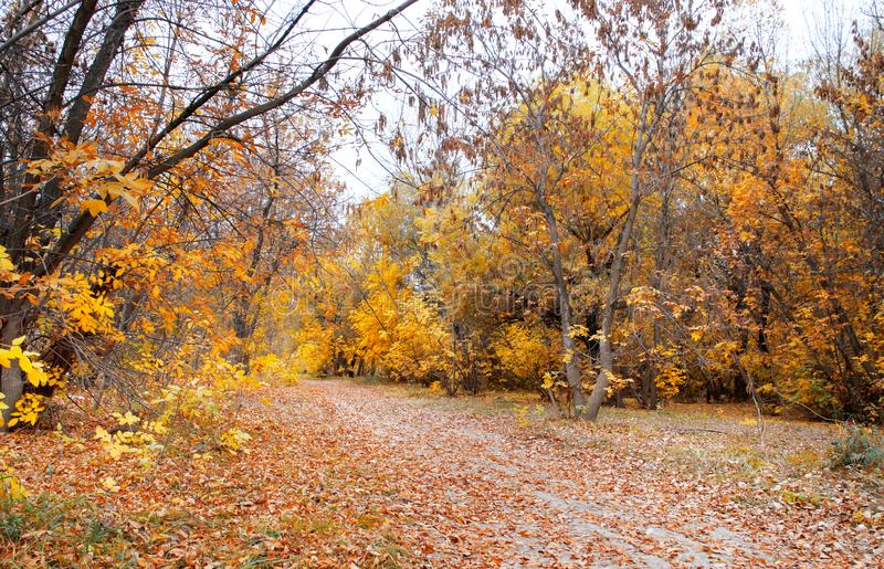 Trees in the autumn wood royalty free stock photography