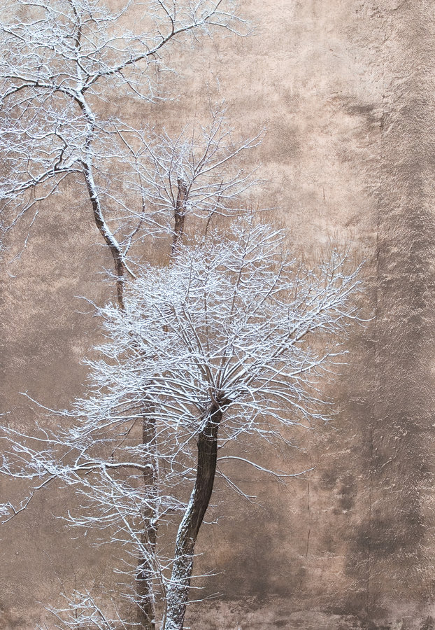 Trees on a background of a wall. Trees under a snow on a background of a city wall royalty free stock image