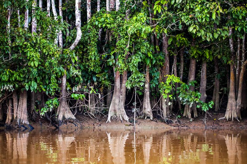Trees on the Kinabatangan River in Borneo, Malaysia. Trees on the the big Kinabatangan River in Borneo, Malaysia royalty free stock photography