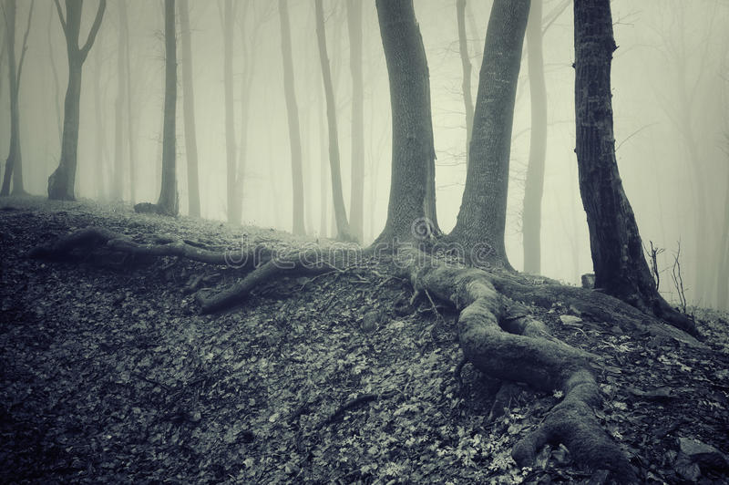 Trees with big roots in a dark creepy mysterious forest with fog
