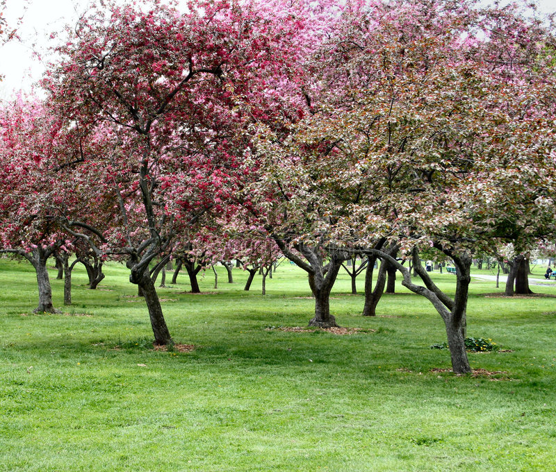 Trees in Bloom stock photo
