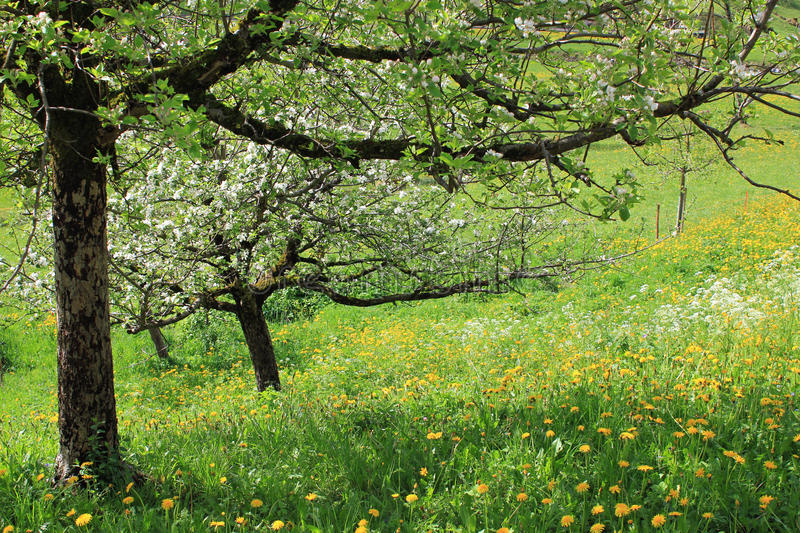 Trees with blossom in meadow full of flowers in spring. Spring, trees with blossom in a field with yellow and white flowers. Sunny floral photo stock images