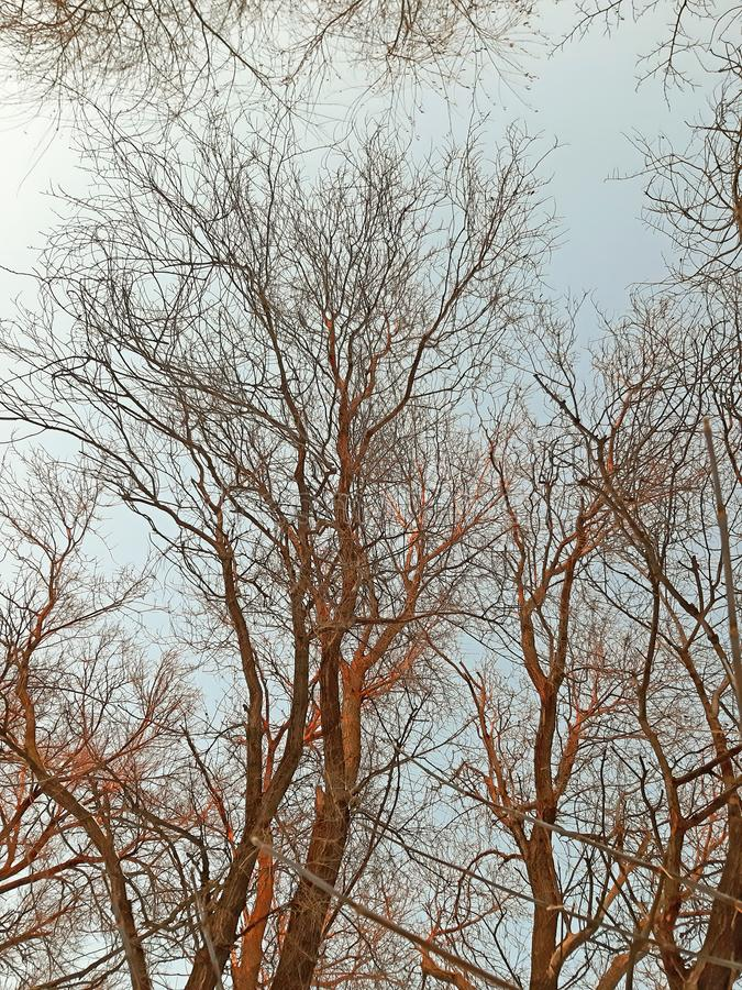 Trees, branches on clear sky in winter royalty free stock photos