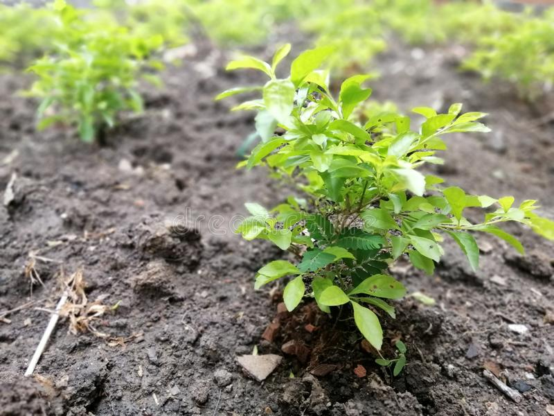 Trees and branches of young leaves of trees grown on the soil. Young tree with young leaves, planted on the ground, flourishing, ready to grow royalty free stock image