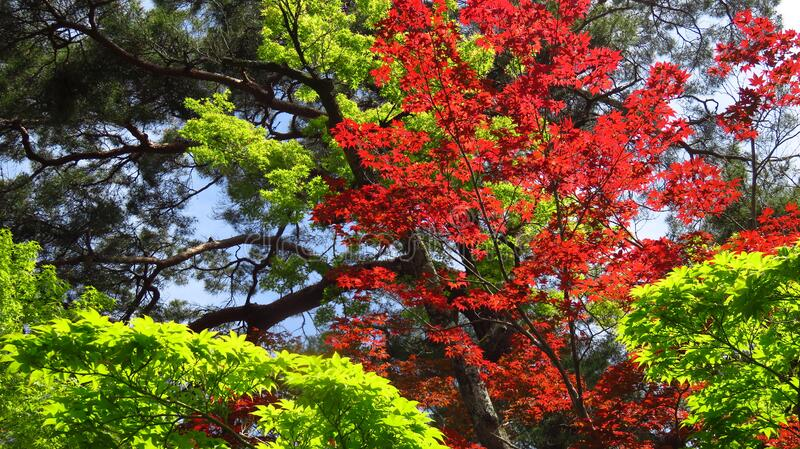 Bright Red and Green Leaf Trees royalty free stock photo
