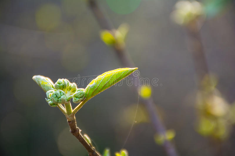 The trees are budding. 发芽,树芽,The trees are budding in the spring stock photos