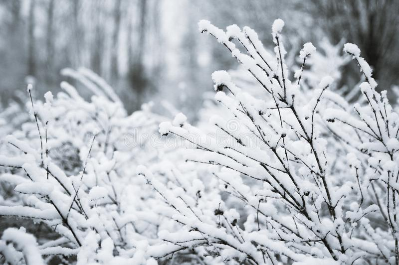 Trees, bushes in the snow in the park. Winter background, texture of the branches in the snow. Space for text stock photos