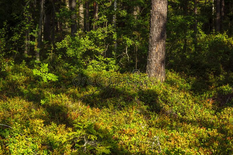 Trees and bushes in wild forest between summer and autumn. Trees and bushes in the wild berry forest between summer and autumn royalty free stock photography