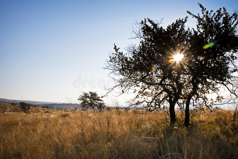 Trees in Bushveld centered Solar Flare. Solar Flare in the centre of a tree in silhouette. Mountain Sanctuary Park, Waterberg, Limpopo, South Africa stock images