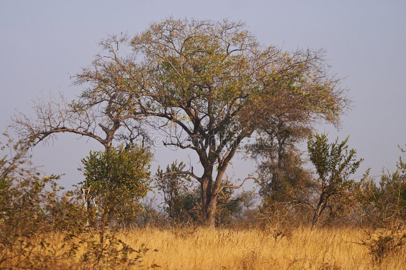 Download Trees In A Bushveld Setting Stock Photo - Image: 4397986