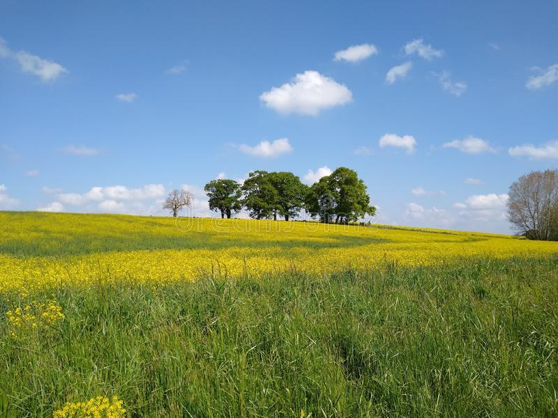 Trees in a canola field royalty free stock photography