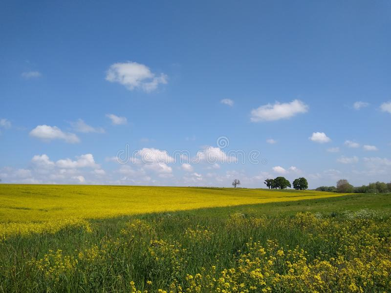 Trees in a canola field stock images