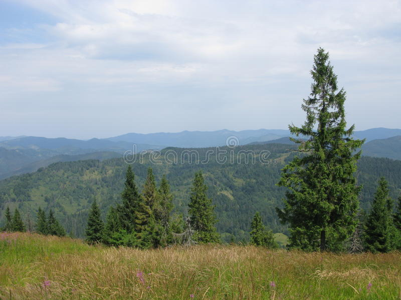 Trees in Carpathians stock images
