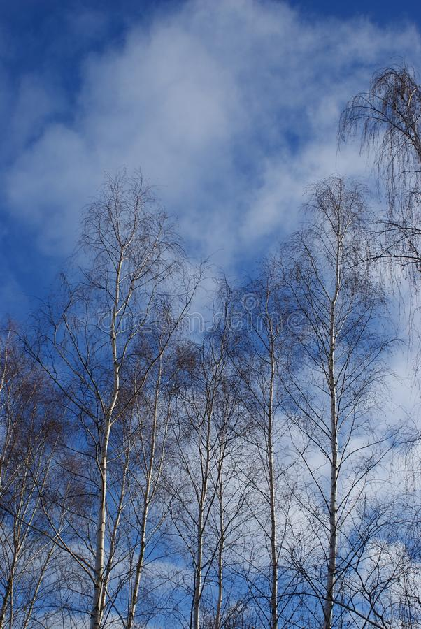 Trees on the Cloud. Sky sunny day winter , naked Trees, Cloud sky, Blue Brown grey royalty free stock image