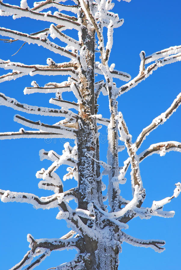 Download Trees coated with snow stock photo. Image of mountain - 33395900