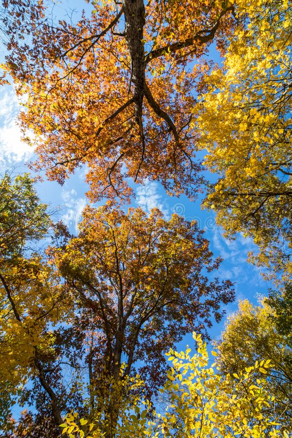 Trees covered in brilliant fall foliage, upshot. Trees covered in brilliant fall foliage in yellow, orange, red against a vivid blue sky on a sunny afternoon stock image