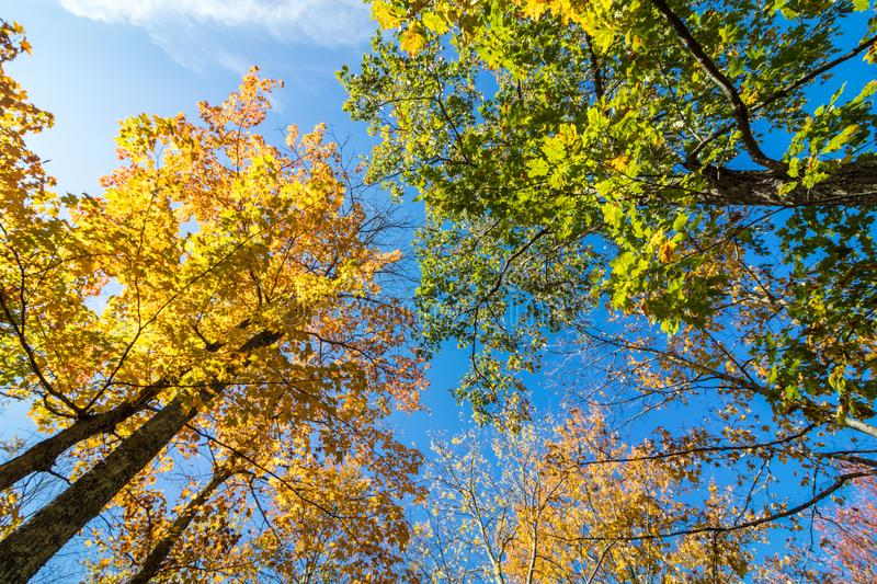 Trees covered in brilliant fall foliage, upshot. Trees covered in brilliant fall foliage in yellow, orange, red against a vivid blue sky on a sunny afternoon stock images