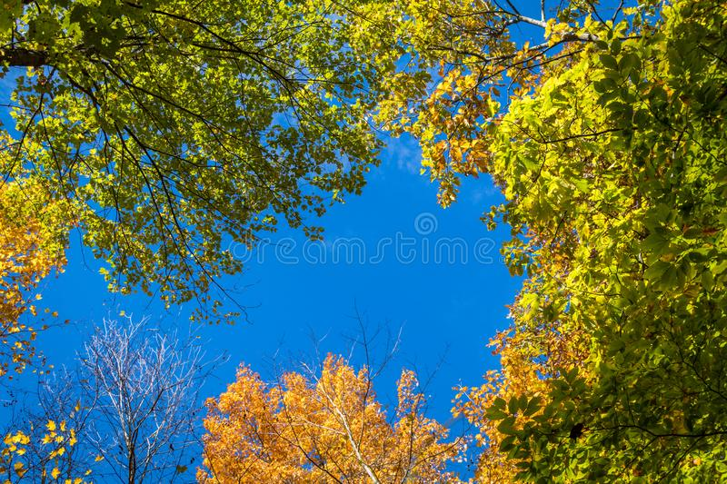 Trees covered in brilliant fall foliage, upshot. Trees covered in brilliant fall foliage in yellow, orange, red against a vivid blue sky on a sunny afternoon royalty free stock photography