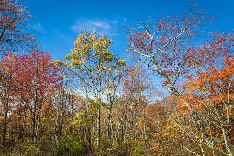 Trees covered in brilliant fall foliage. In yellow, orange, red against a vivid blue sky on a sunny afternoon stock image