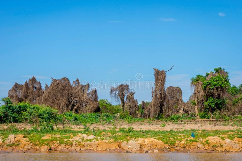 Trees covered with dry grass, Cambodia. Trees covered with dry grass from floods of the wet season. Tonle sap lake, Cambodia royalty free stock photos