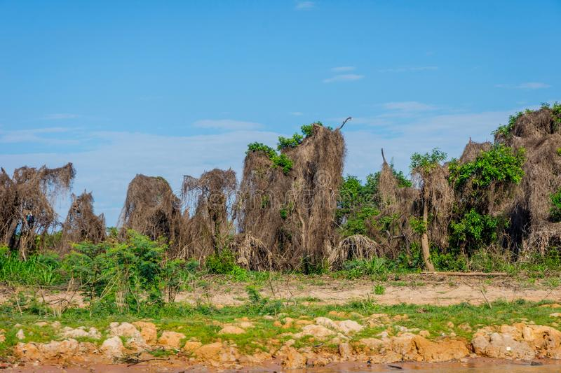 Trees covered with dry grass, Cambodia. Trees covered with dry grass from floods of the wet season. Tonle sap lake, Cambodia stock image
