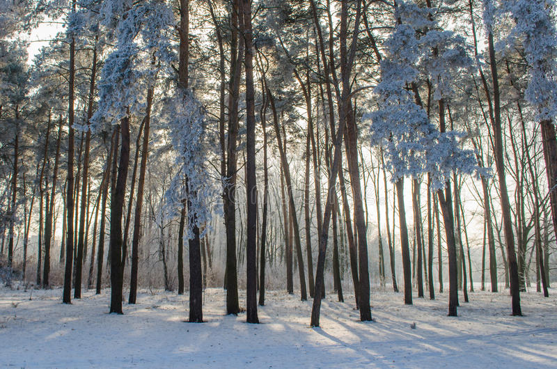 Trees covered with frost in a snowy forest.  stock photos