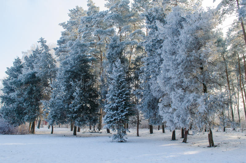 Trees covered with frost in a snowy forest.  stock images