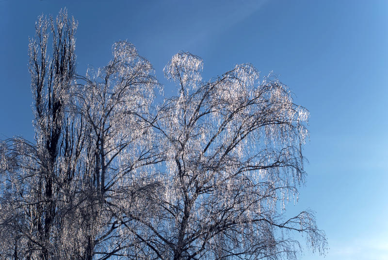 Trees covered with ice