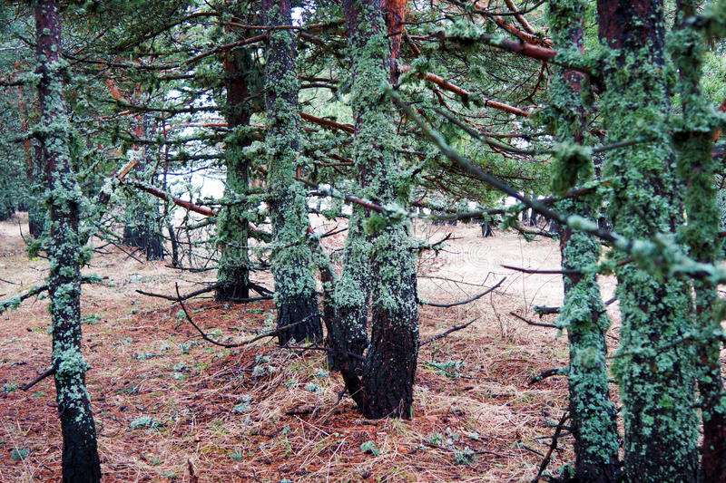 Trees covered with moss royalty free stock photo