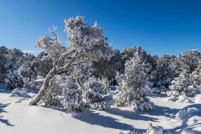 Trees covered with snow near Grand Canyon. Snow on ground; blue sky above. Trees near the Grand Canyon`s south rim. Snow covers the trees, and also carpets the royalty free stock image